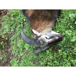 Muflon vædder lam